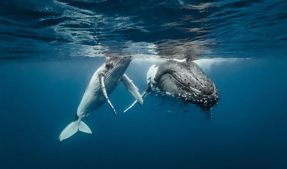 Buckelwale in Tonga beobachten