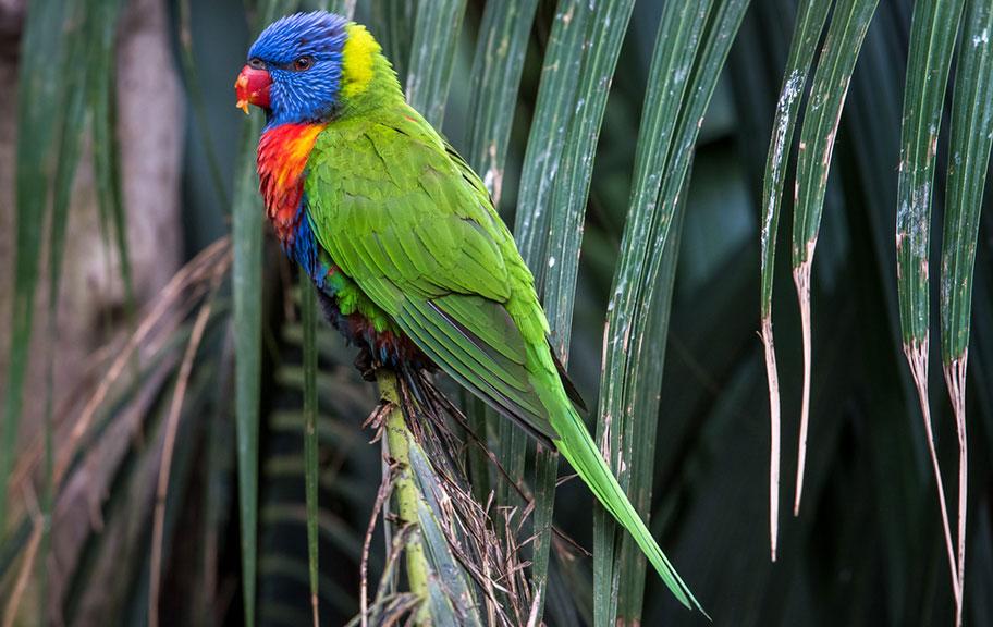 Vogel bunt Neukaledonien