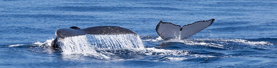 Walbeobachtungen Tonga